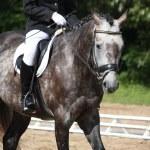 Gray sport horse portrait — Stock Photo #55806775