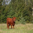 Brown calf at the pasture in summer — Stock Photo #56002653