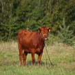 Brown calf at the pasture in summer — Stock Photo #56005449