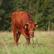 Brown calf at the pasture in summer — Stock Photo #56005877