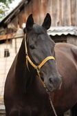Beautiful black horse portrait at the stable — Stock Photo