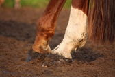 Close up of chestnut horse hooves — Stock Photo