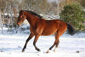 Happy bay horse running in the snow — Foto Stock