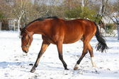 Happy bay horse running in the snow — Stock Photo