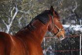 Beautiful bay sport horse portrait — Stockfoto