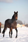 Beautiful bay horse walking in the snow — Stock Photo