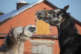 Two gray ponies fighting playfully — Stock Photo