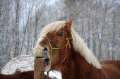 Palomino horse cribbing wooden fence — Photo