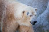 Polar bear portrait in the zoo — Stock Photo