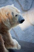 Polar bear portrait in the zoo — Stock Photo