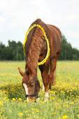 Beautiful chestnut horse at the field with flowers — Stock Photo