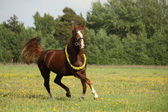 Beautiful chestnut horse trotting at the field — Stock Photo