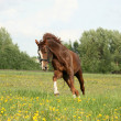 Chestnut beautiful horse galloping at the blooming meadow — Stock Photo #62608259