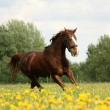 Chestnut beautiful horse galloping at the blooming meadow — Stock Photo #62608271