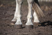 Close up of gray horse legs — Stock Photo