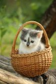 Cute small white and gray kitten resting in the basket — Stock Photo
