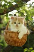 White small fluffy kitten in the basket — Stock Photo