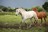 White horse trotting free at flower field — Stock Photo