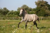 Beautiful gray andalusian colt (young horse) trotting free — Stock Photo