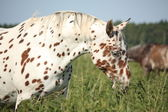 Portrait of knabstrupper breed horse - white with brown spots — Stock Photo
