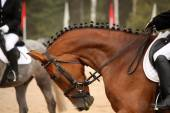 Brown sport horse portrait during dressage test — 图库照片