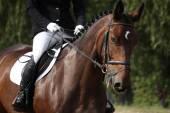 Brown sport horse portrait during dressage test — Stock Photo