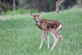 Newborn Whitetail Fawn — Stock Photo