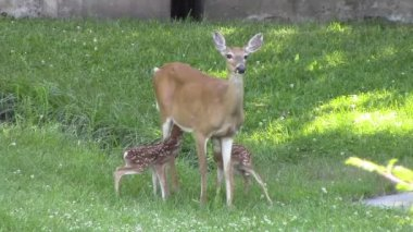 Whitetail Twin Fawns — Stock Video
