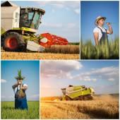 Wheat harvest collage — Stock Photo
