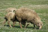 Овцы на пастбище зеленой травы — Стоковое фото
