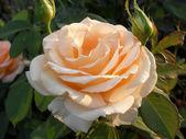 "Cream tea and hybrid rose ""Primadonna"", macro. — Stock Photo"