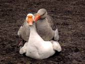 Goose love. — Stock Photo