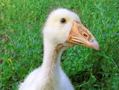 Curious goose. — Stock Photo