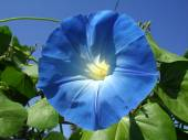 Ipomoea flower close up. — Stock Photo