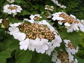 The blossoming guelder-rose close up. — Stock Photo