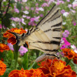 "Beautiful butterfly of ""Papilio machaon"" on a flower, macro. — Stock Photo #63634161"