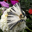 "Beautiful butterfly of ""Papilio machaon"" on a flower, macro. — 图库照片 #63650963"