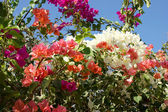 Multi-colored bugenvilliya (Bougainvillea) against the sky close up. — Stock Photo