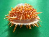 "Sea cockleshell of ""Spondylus barbatus"" on a green background, macro. — Stock Photo"