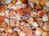 "Sea cockleshells of ""Pectinidae"" in water, macro. — Stock Photo"