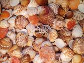 """Sea cockleshells of """"Pectinidae"""" in water, macro. — Stock Photo"""