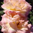 ������, ������: Cream tea and hybrid roses of Gloria Dei macro