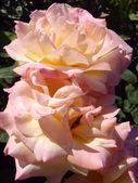 "Cream tea and hybrid roses of ""Gloria Dei"", macro. — Stock Photo"
