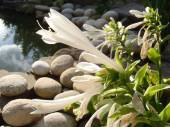 The blossoming hosta against a decorative pond in a garden. — Stock Photo