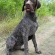 Puppy of the German Wirehaired Pointer outdoors. — Stock Photo #63724767