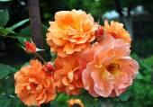 "The orange trudging rose of ""Westerland"", macro. — Stock Photo"