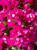 Crimson bugenvilliya (Bougainvillea) close up. — Stock Photo
