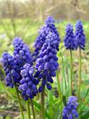 Muscari - spring bulbous flowers close up. — Stock Photo