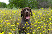 Dog of breed of German Pointer or otherwise Deutsch-Drahthaar in wild flowers — Stock Photo