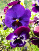 Multi-colored pansies (viol) close up. — Stock Photo
